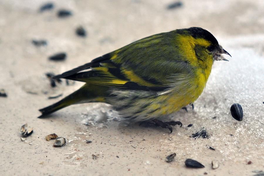 Jak pomóc ptakom w zimie?
