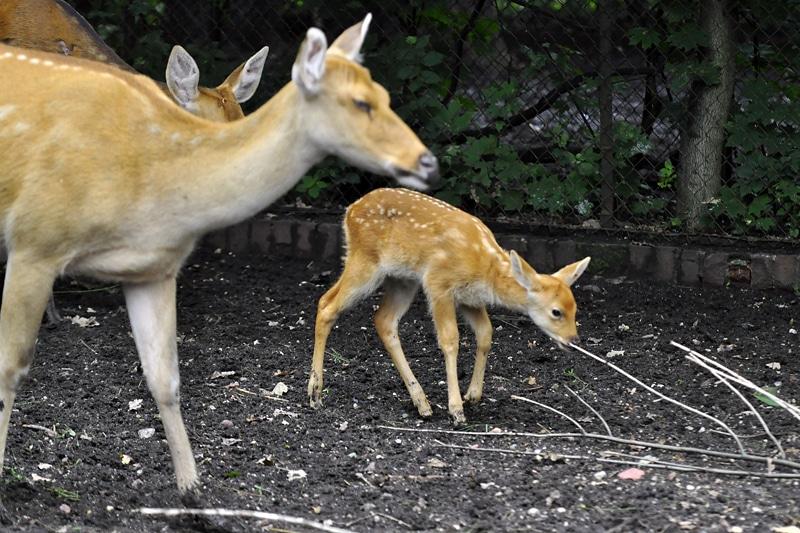 u jeleniowatych