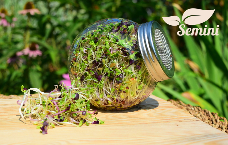 kielkownica-sloikowa-semini