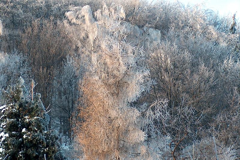 lodowe drzewa