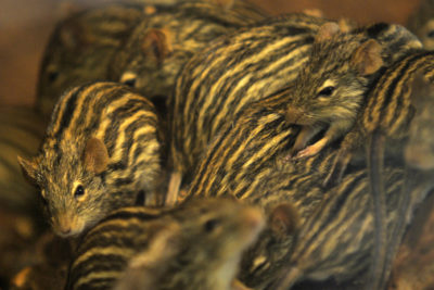 myszy libijskie, fot©J.Dudzik