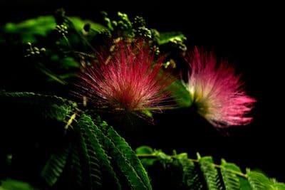 mimoza, fot.©J.Dudzik