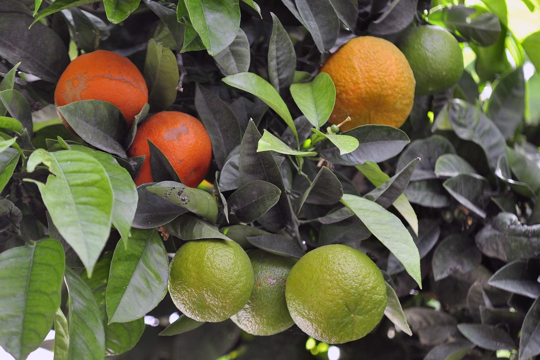 pomarańcze w Portugalii