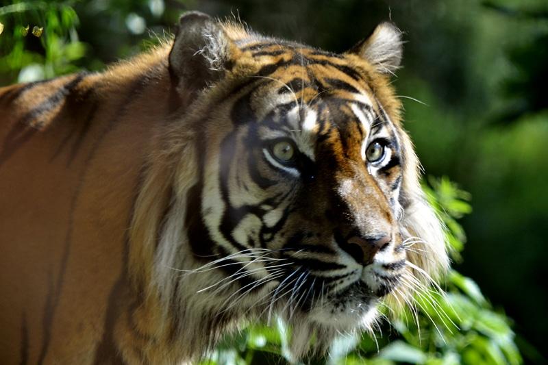 Światowy Dzień Tygrysa