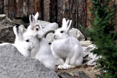 Zające bielaki