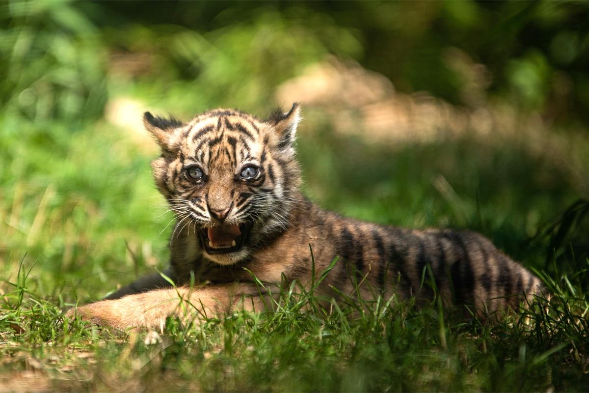 Już można oglądać tygryska we wrocławskim ZOO. Maluch zaczyna pojawiać się na wybiegu