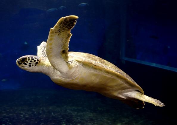 Stefan, a może Stefania, żółw z Kanału Mozambickiego