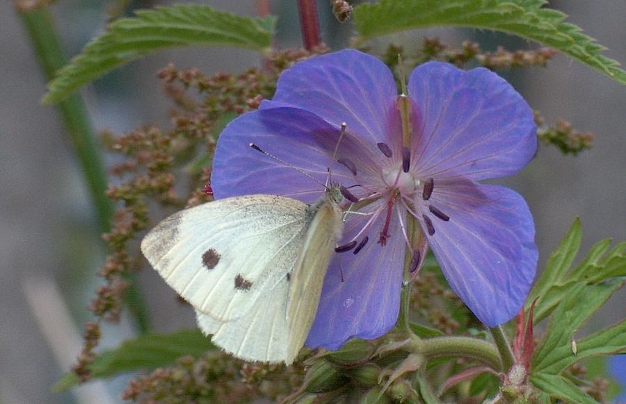 Dzień motyla kapustnika. Coraz ich mniej